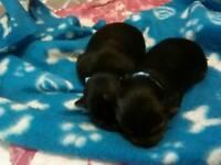 Full pedigree Yorkshire Terrier teacup boys