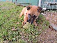 German Shepherd X Malinois Female Puppy