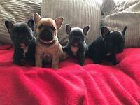 5 Generation KC reg French bulldog Puppies