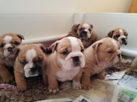 English Bulldog Puppies Dogs Puppies For Sale Gumtree