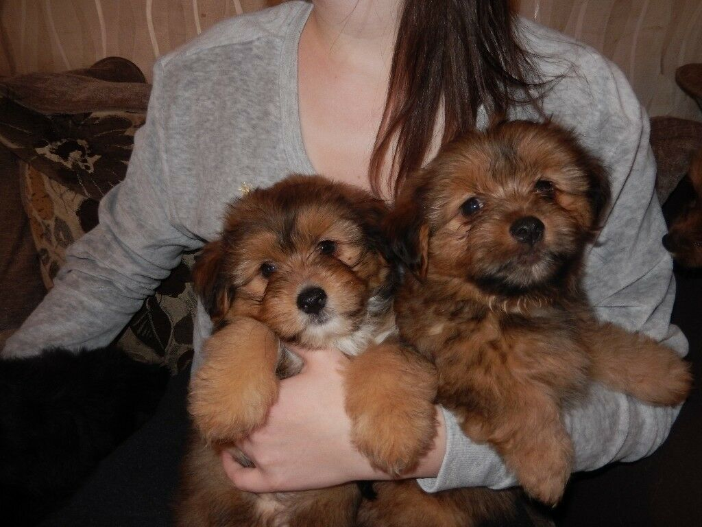 f16006d42b87 6 Pomeranian x Lhasa apso puppies for sale black   brown 8 weeks old