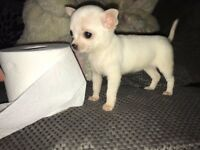 Chihuahua girl puppy