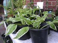 Hostas plants for the patio or garden, just potted up after splinting our plant