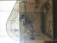 3 cockatiels and cage