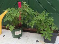 Lemon scented leaf Geranium (Pelargonium) established plant