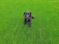 Here is my stunning black Labrador puppie 9 weeks old