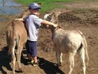 Young donkeys , FOR SALE after  weaning