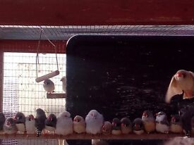 Zebra Finches, Bengalese, Diamond Doves and Quail