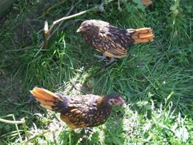 Pair of Golden Sebright Chickens (bantams) for sale