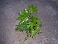 Indoor House or Office Plant - Japanese Aralia - Castor Oil Plant