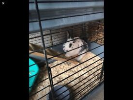 Two rabbits male with indoor cages