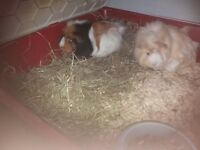2 10 month old guinea pigs with cage