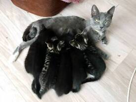 Bengal x Russian Blue kittens looking for loving forever homes