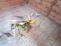 budgies for sale adults and young ones