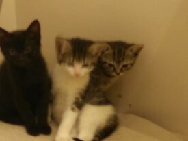 Kittens available end of August