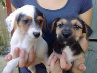 Gorgeous Yorkshire terrier x jack Russell puppies