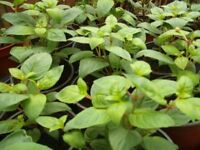 Young Hardy Fuchsia Plants (they will stay out all winter)