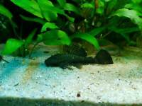 Brown bristlenose pleco