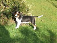 🐾💖Striking Springer Beagle girls 🐾