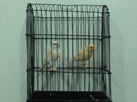 dimorphic canary