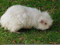 White Texel Guinea Pig 1 year male