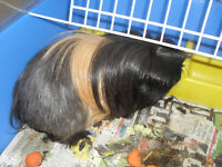 PERUVIAN ``MALE``GUINEA PIG COMPLETE WITH CAGE