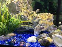 Cichlids /fish