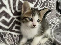 Kittens half Bengal