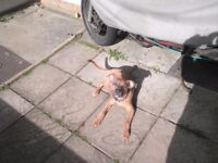 Staffy cross Patterdale terrier, 6 months old puppy dog, male. £150.00