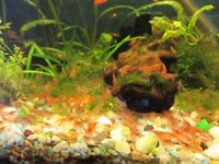 Shrimp red scherry