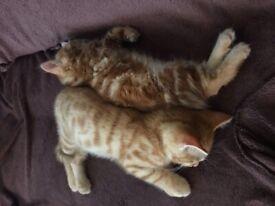 Two ginger kitten boys