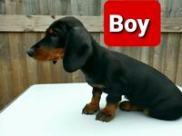 READY TO GO PRA CLIEAR STANDARD Dachshund puppies in Howden Clough
