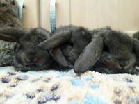 Stunning french lop rabbits