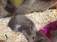Baby Syrian hamsters ready now well handled 8 weeks old