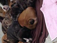 3/4 English 1/4 Olde English Bulldog Puppies for sale