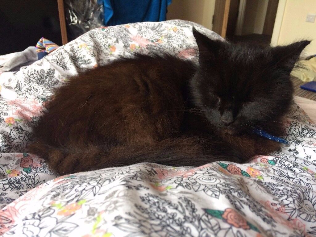 FREE MALE ADULT CAT TO LOVING HOME