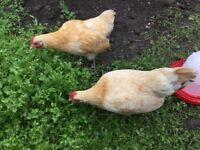 Pair of purebreed bantam Plymouth rocks, female hens