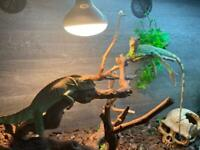 2 Chinese Water dragons