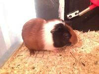 Guinea pig male - 3 mnths old -- £15