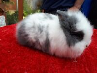 Absolutely cute Lionhead babies for sale