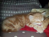 x2 male kittens GINGER SSTC SUN - BLACK WITH HINT OF BROWN SFS