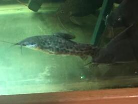 2 large hopplo catfish