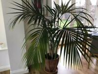 5ft Real Palm Plant and Terracotta Pot