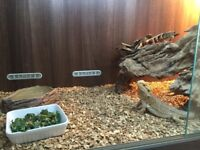 2 bearded dragons large viv split into 2 and full set up