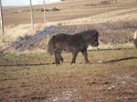 lovely shetland foal