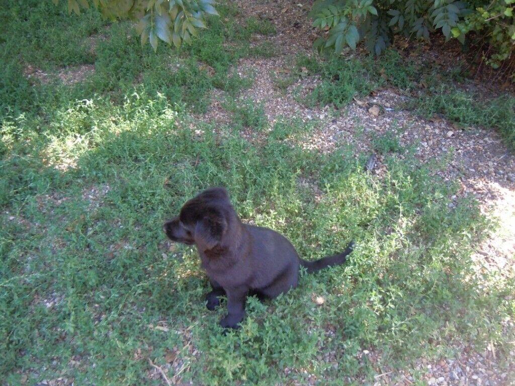 Labrador X German Shepherd puppies for sale