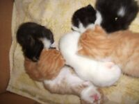 Polydactyly kittens ( KITTENS WILL BE READY IN 5 WEEKS TIME TO LEAVE ) deposit only being taken