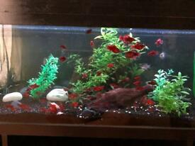 Red Platy Tropical Fish £1pf