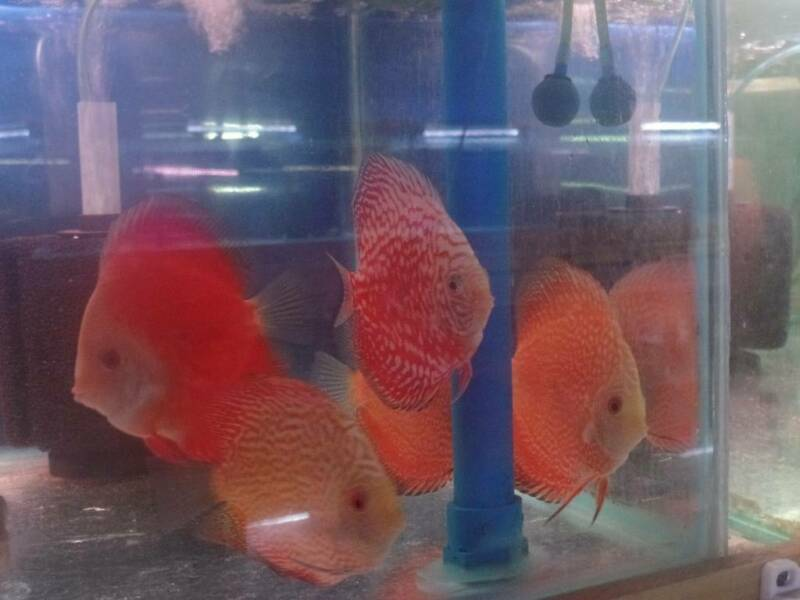 One Stop Shop For All Your Aquarium And Accessories In Pooraka Fish Gumtree Australia Salisbury Area Pooraka 1260007511
