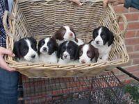 springer spaniel pupies